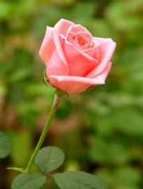 mawar2.jpg