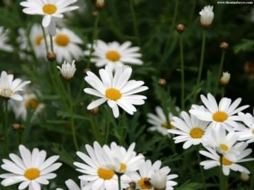 daisies2.jpg
